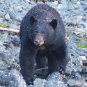 Our first 'beach bear', on the shore opposite our lodge, covered in sticky pine needles, Vancouver Island