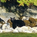 Our second 'beach bear' (of the nine black bears seen on beaches in 5 days), Vancouver Island