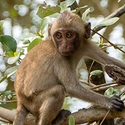 young Long-tailed Macaque